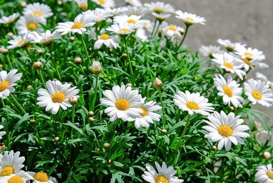 zahradní kopretiny